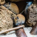 Her finder du hjælp til rottebekæmpelse i Faxe og omegn